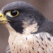 Apr2016 Peregrine Update Article - featured image