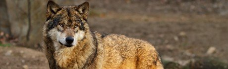 Eastern Wolf Wrap Up Featured Image