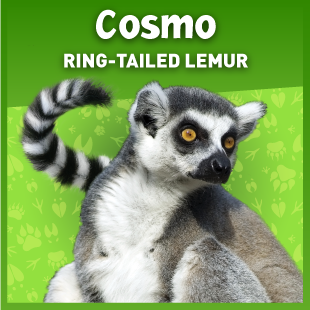 Cosmo the ring-tailed lemur