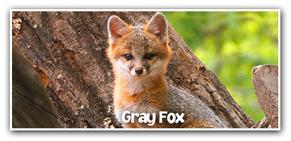 gray-fox-learn-more-short