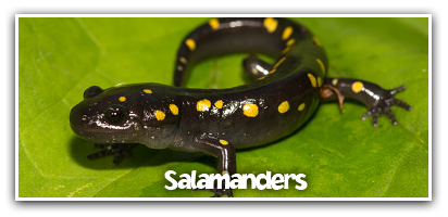 salamanders-learn-more-short