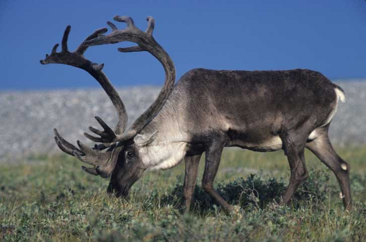 A caribou grazes on the carpet of greenery that grows across its habitat in the summer.