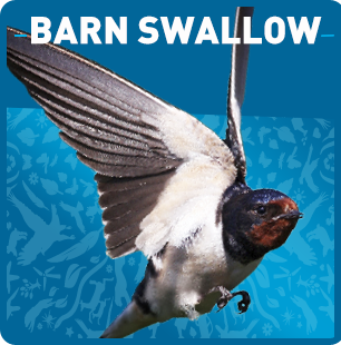 barn swallow songbird