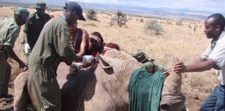 Lewa Vet intervention for an injured rhino