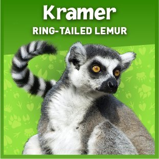 Kramer the ring-tailed lemur