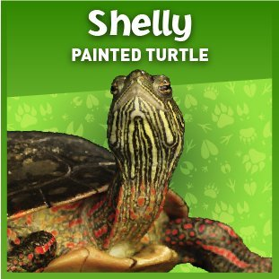 shelly the spotted turtle