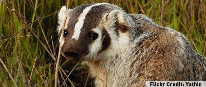 American badger in the grass