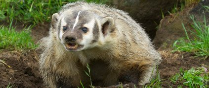 American badger growling