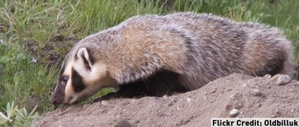 American badger smelling