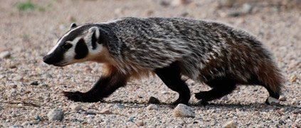 American badger walking
