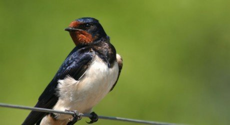 how birds know the time and why barn swallows stick to the schedule