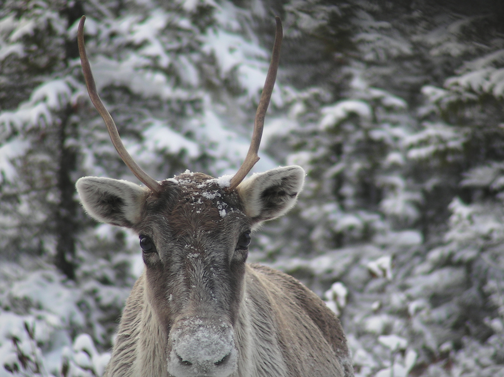 This Woodland Caribou makes its home in a dense forest (and takes shelter from the snow!)