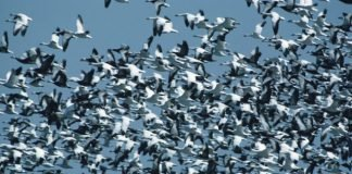 gaggle snow geese in flight North America