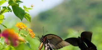 swallowtail butterfly dancing courting