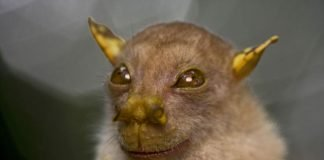 Tube nosed fruit bat, nyctimene sp