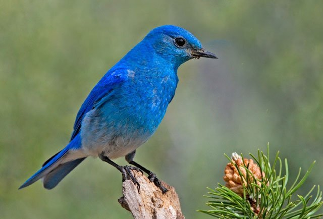 Mountain Bluebird, male, sialia currucoides