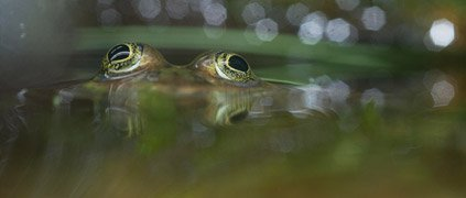 Oregon spotted frog in water