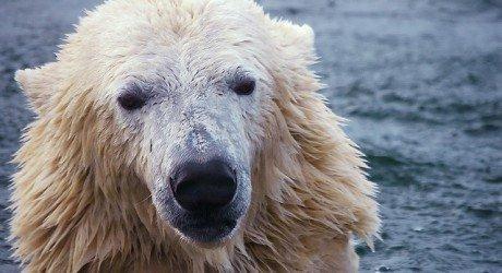 polar_bear_water_credit_mape_s 460x250 polar bears have clear hair, so why do they look white? earth