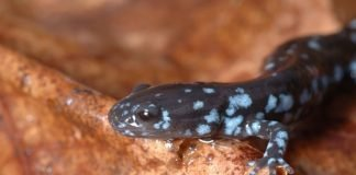 blue-spotted salamander, ambystoma laterale, blue-spotted newt
