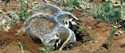two American badgers