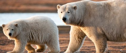 Mother polar bear with young