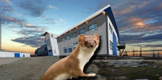 weasel,Northern Studies Centre, Churchill, Manitoba