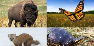 pine marten bison monarch butterfly spotted turtle