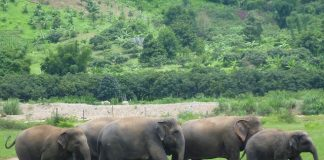 Elephant herd Chiang Mai Thailand