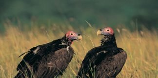 lapped faced vultures in grass
