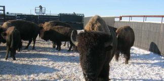 plains bison in old man on his back