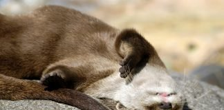 otter, sun, napping