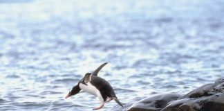 penguin jumping water