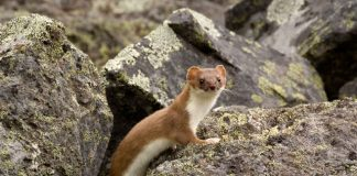 short-tailed weasel, mustela erminea, ermine, stoat