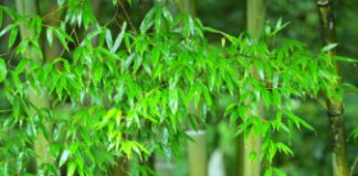 bamboo, grass, tall