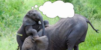 elephants playing thought bubble
