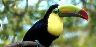toucan bird tree