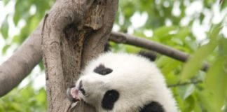 panda eating tree
